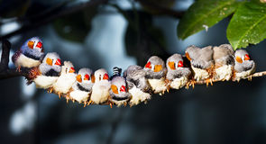 Zebra Finch (Taeniopygia guttata) on a Branch and having sunning Royalty Free Stock Images
