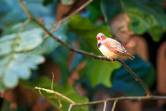 Zebra finch  (Taeniopygia guttata) closeup Stock Photos