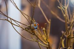 Zebra finch - Taeniopygia guttata formerly Poephila guttata sitting on branch stock photography
