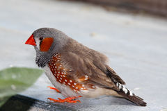 Zebra finch, Taeniopygia guttata guttata Royalty Free Stock Photography