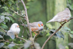 Zebra finch, taeniopygia guttata. Hanging on a stick stock photography