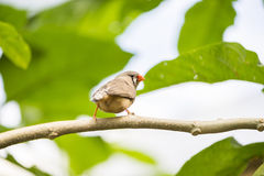 Zebra finch, taeniopygia guttata Stock Photography