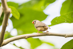 Zebra finch, taeniopygia guttata Royalty Free Stock Photography