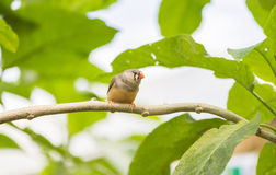 Zebra finch, taeniopygia guttata Royalty Free Stock Photos