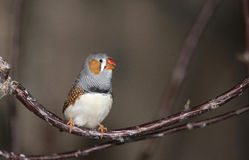 ZEBRA FINCH  (Taeniopygia guttata) Royalty Free Stock Images