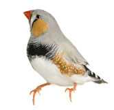Zebra Finch, Taeniopygia guttata, perched. In front of white background royalty free stock photography