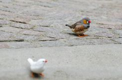 The zebra finch (Taeniopygia guttata or Poephila guttata) birds at Mainau island garden. Germany royalty free stock images