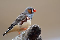 Zebra finch taeniopygia guttata. Portrait of a zebra finch taeniopygia guttata perching on a branch royalty free stock photo