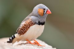 Zebra finch taeniopygia guttata. Portrait of a zebra finch taeniopygia guttata perching on a branch stock images