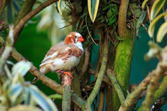 Zebra finch (Taeniopygia guttata) Stock Photography