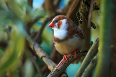 Zebra finch (Taeniopygia guttata). Sitting on a branch royalty free stock image