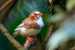 Zebra finch  (Taeniopygia guttata) sitting on a branch Stock Image