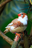 Zebra finch  (Taeniopygia guttata) sitting on a branch Stock Photos