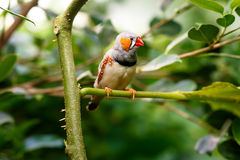 Zebra finch  (Taeniopygia guttata) sitting on a branch Stock Images