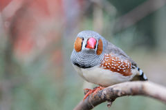 Zebra finch Taeniopygia guttata. Zebrafink royalty free stock photos