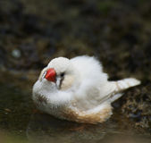 Zebra Finch Taking A Bath Royalty Free Stock Images