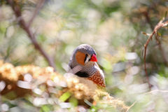 Zebra finch tropical bird with colorful feathers. Tiny and cute tropical bird called a zebra finch Royalty Free Stock Photography