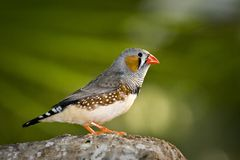 Zebra finch Stock Images