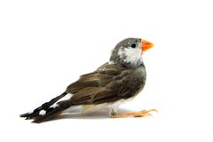 Zebra Finch on white Stock Photo