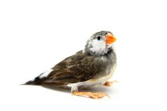 Zebra Finch on white Stock Photos