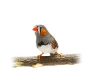 Zebra Finch on white Royalty Free Stock Photo