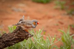 Zebra finch. Taeniopygia guttata male sitting on a fallen branch Stock Photo