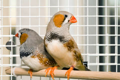 Zebra Finches. Two Zebra finches on a perch in a cage sitting for a portrait Stock Images