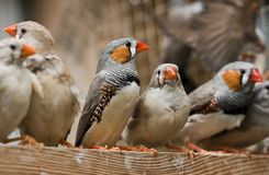 Zebra finches. Several Zebra finches gathered together and perched on a piece of wood. Species: Taeniopygia guttata Royalty Free Stock Photography