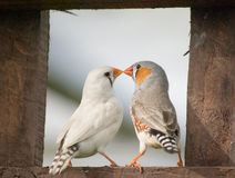 Zebra Finches. Royalty Free Stock Photos