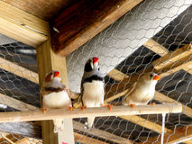 Zebra Finches 1 Stock Photography