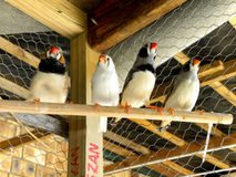 Zebra Finches 2 Stock Photos