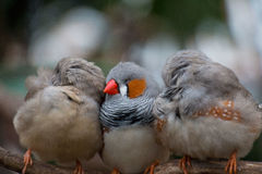 3 Zebra finches nestling at Bloedel Conservatory in Vancouver, British Columbia Royalty Free Stock Images