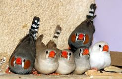 Zebra finches Royalty Free Stock Images