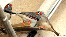 Zebra finches Stock Image