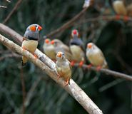 Zebra finches ( Taeniopygia guttata ). A colorful zebra finches( Taeniopygia guttata ) sitting on a branch posing royalty free stock images