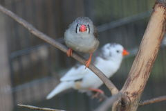 Zebra Finches Royalty Free Stock Photo