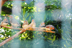 Zebra finches in a tree royalty free stock image