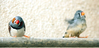 Zebra Finches. Two Zebra finches on a perch in a cage stock photos