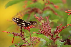 Zebra on firebush stock photography