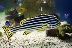 Zebra-Fische Stockbild