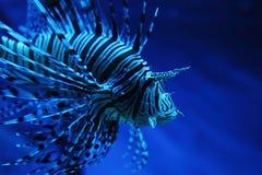 Zebra fish Stock Image