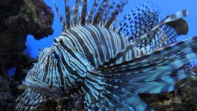 Zebra fish. Exotic Zebra fish or striped lionfish Stock Photos