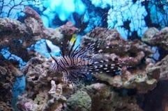 Zebra fish. At the fish tank Royalty Free Stock Image
