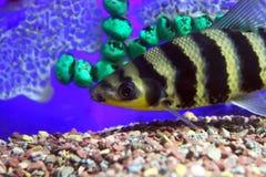 Zebra fish Royalty Free Stock Photography