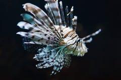 Zebra fish in water Stock Images