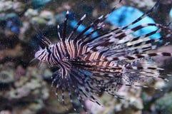 Zebra fish. At the fish tank Stock Photo