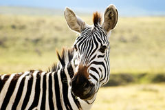 Zebra, five, Stock Photo