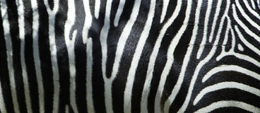 Zebra Flank Stock Photos