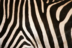 Zebra Flank Stripes. Horizontal image of the black and white striped flank of a live zebra Stock Image