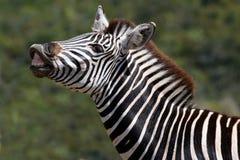 Zebra Flehman Stock Images